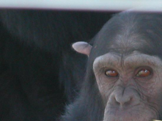 Fairmont Mount Kenya Safari Club: Chimpanzee at Sweetwaters