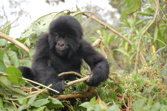 Gorilla's Nest / Jack Hanna Cottage: Curiousity - Rwanda