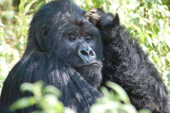 Gorilla's Nest / Jack Hanna Cottage: Contemplation - Rwanda