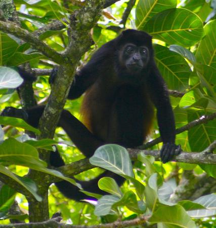 Lookout Inn Lodge: Big male howler monkey.  Seen a mile or so from the Look Out Inn.