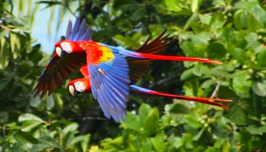 Lookout Inn Lodge: Macaws mate for life.  They always fly in pairs.  (Seen from the Look Out Inn)