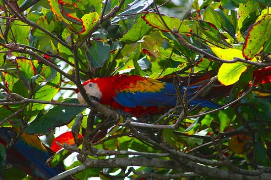Lookout Inn Lodge: The macaws love the almond trees on the Look Out Inn property.