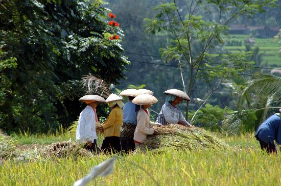 The Chedi Club Tanah Gajah, Ubud, Bali – a GHM hotel: Crop harvesting in the surrounding rice paddy fields
