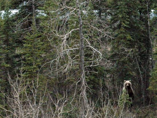 Coldfoot, AK: Grizzly along the Dalton