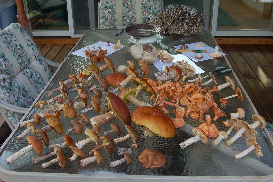 Storybook Farm Llama Trekking B&B: Some of the edible mushrooms found at Storybook Farms woods
