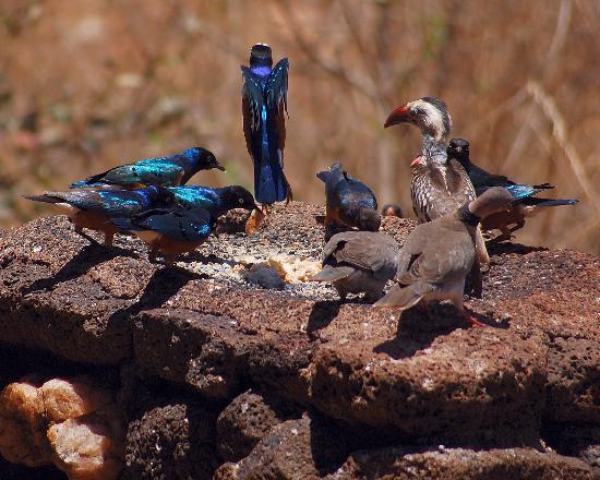 Kilaguni Serena Safari Lodge: Bird table action!