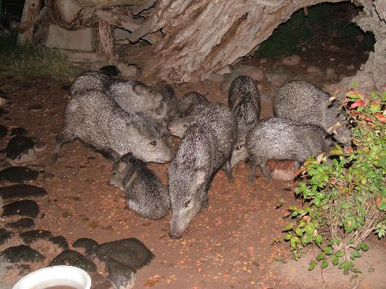 Lo Lo Mai Springs: a family of javelina