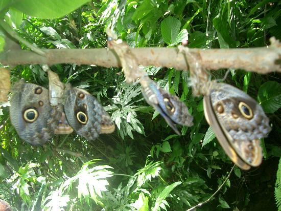 Maleku Hostel: Butterfly farm!