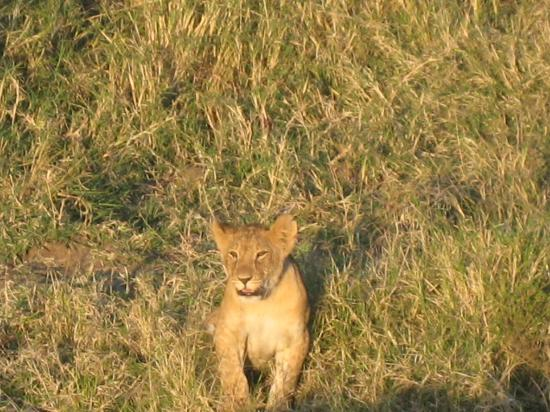 Duma Camp Maasai Mara: Lion cub