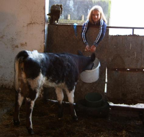 Hillview Farmhouse: Feeding time for calf