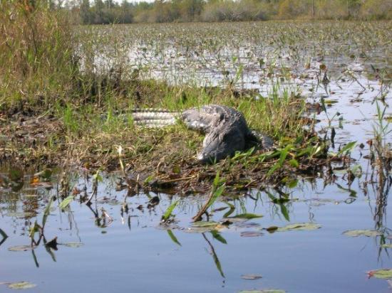 Okefenokee Swamp Park : Another gator