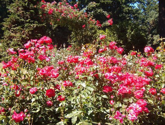 International Rose Test Garden: Beautiful roses everywhere!