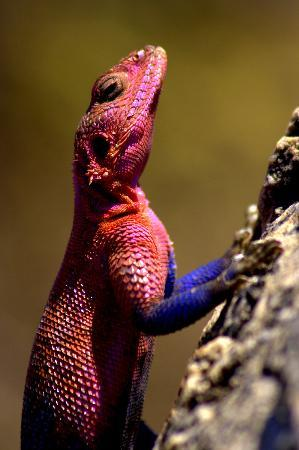 Serengeti Nationalpark, Tansania: agama lizard