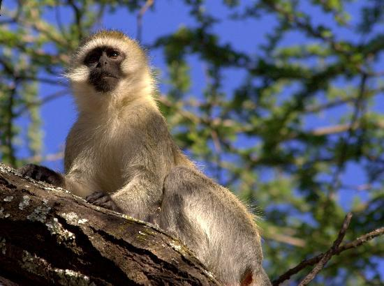 Serengeti Nationalpark, Tansania: vervet monkey