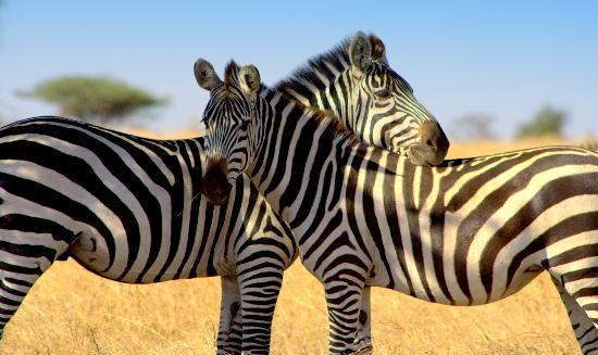 ‪‪Serengeti National Park‬, تنزانيا: zebras‬
