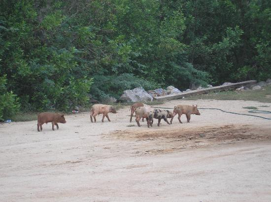 Present Moment Retreat: Some little piggies outside--it's a rustic town