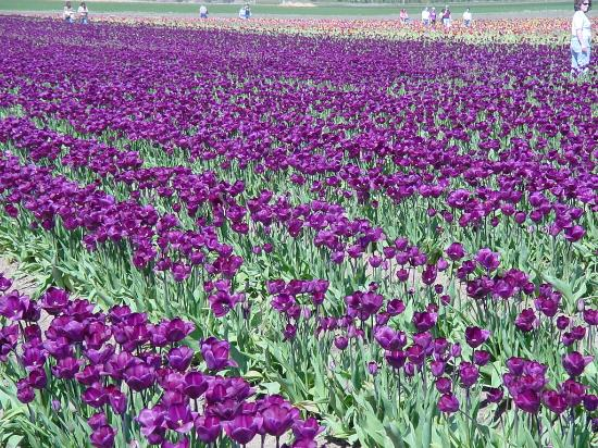 Woodburn, Oregón: purple tulips