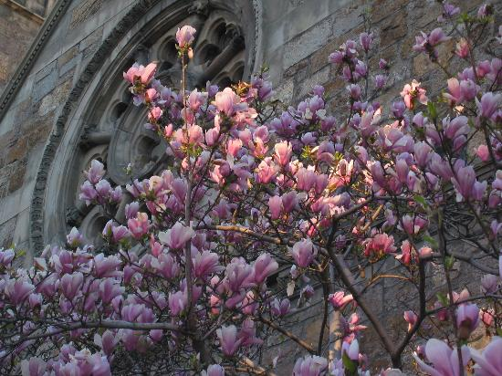 Magnolia Trees On Marlbourgh St In The Spring Time Picture Of