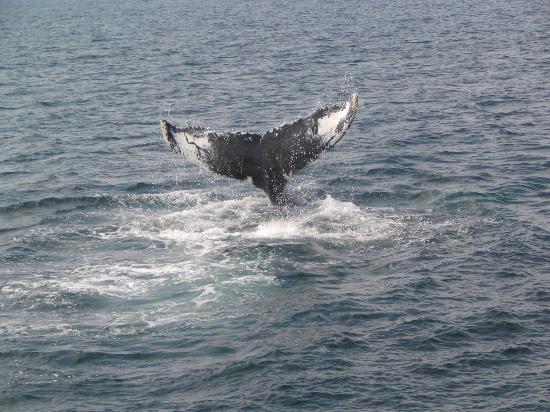 Hyannis Whale Watcher Cruises: Humpback Whale Tail (Whale Named Nile)