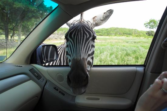 Glen Rose, TX : Did I ever tel you about the time we almost adopted a zebra?
