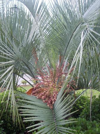 Pawleys Island, SC: palm tree