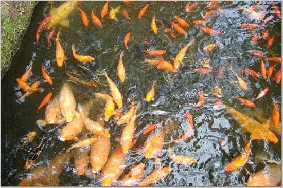Koi pond at byodo temple picture of oahu hawaii for Koi ponds near me