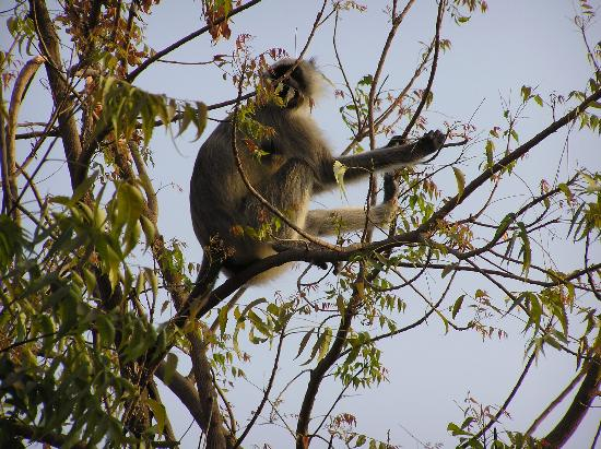 Gujarat, Hindistan: monkey comes by in town