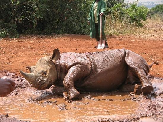 Nairobi, Kenya: An orphan rhino