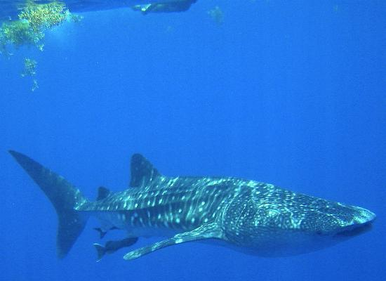 Mango Inn: snorkeling with a young whale shark