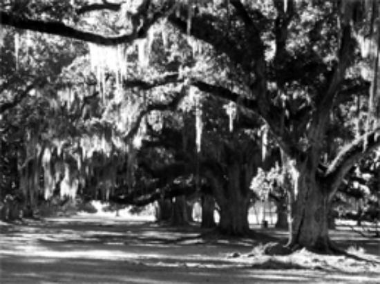 Fontainebleau State Park: These majestic oaks line the path from the lake to the old sugar cane plantation.