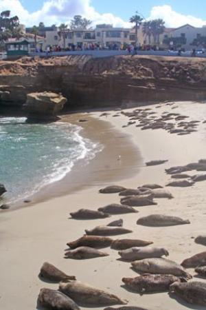La Jolla, CA: seals on the beach