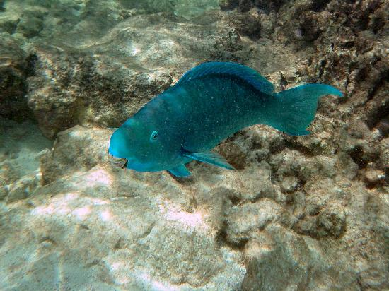 A blue parrot fish off of depalm island picture of aruba for Blue parrot fish