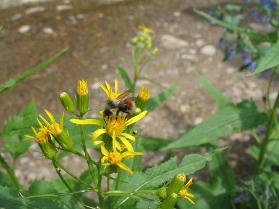 Fraser Valley: Honeybee on wildflower
