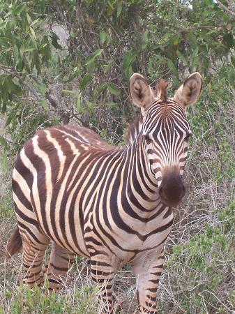 Kilaguni Serena Safari Lodge: Zebra