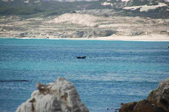 Hermanus, Zuid-Afrika: Whale Watching outside Heranus October 2006