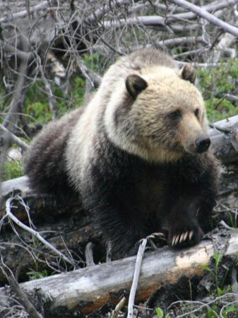 Bow Valley Parkway: Grizzly