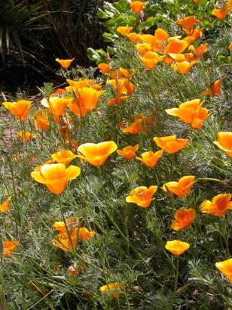 Foto Antelope Valley California Poppy Reserve