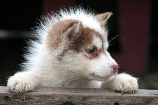 Churchill Hotel & Guesthouse: Husky puppy