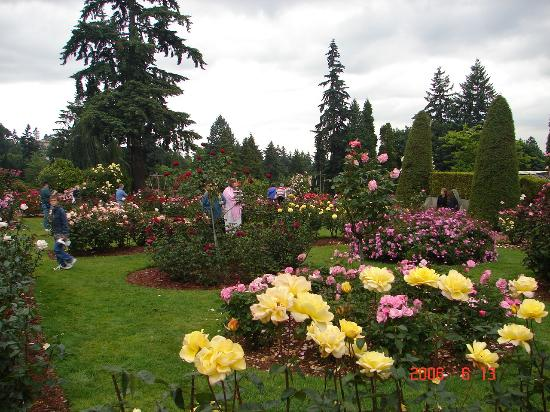 Yellow roses at the portland rose gardens picture of international rose test garden portland for Portland international rose test garden