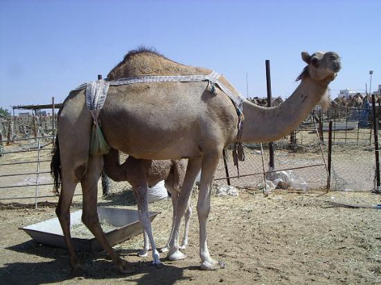 Hilton Al Ain: The Camel Market
