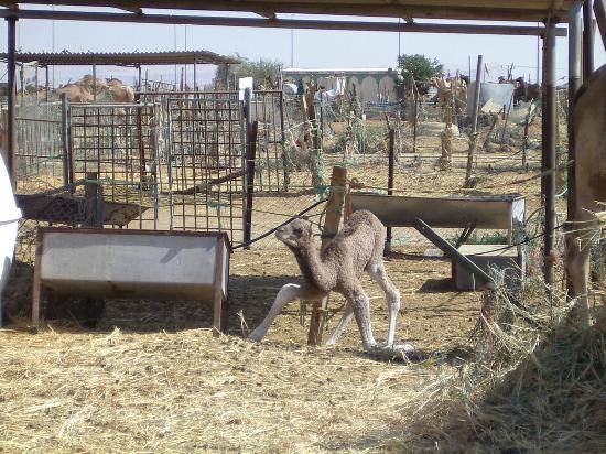 Hilton Al Ain: Baby Camel, Camel Market, Al Ain