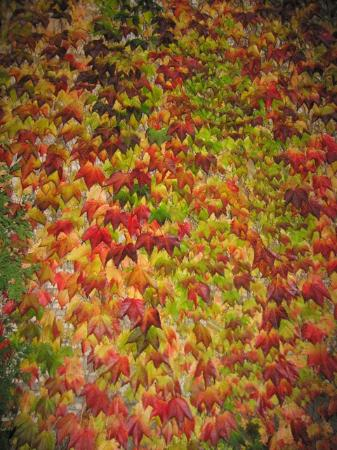 George Eastman Museum: Colorful Ivy on the side of the George Eastman House