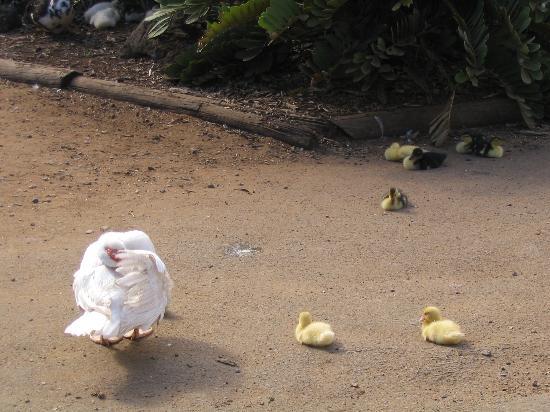 Wailuku, HI: baby ducks