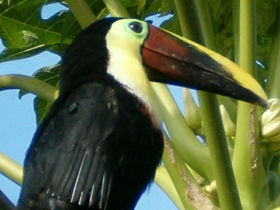 Arenal Volcano Inn : Toucan that lives on property