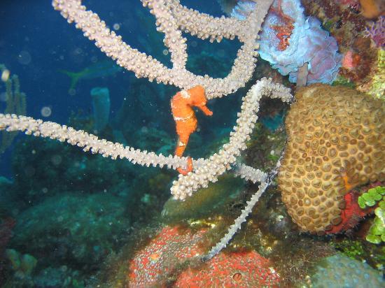 Anthony's Key Resort: seahorse