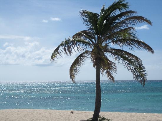 Aruba Marriott Resort & Stellaris Casino: Palm Tree on Beach