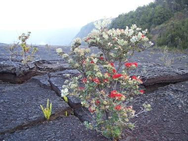 Red Lehua on the floor of Kilauea Caldera