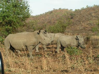 White Rhino on Ntshwe Drive