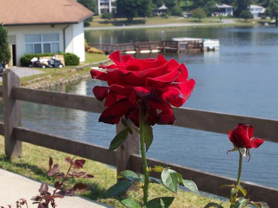Lambuth Inn: Roses at Lake Junaluska are Fantastic!!!