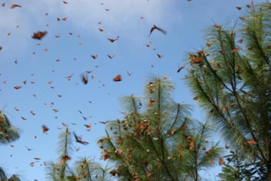 Rancho San Cayetano: A few of the Monarchs
